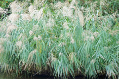 Japanese pampas grass field Royalty Free Stock Photography