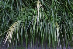 Japanese pampas grass Royalty Free Stock Images