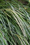Japanese pampas grass Royalty Free Stock Photography