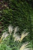 Japanese pampas grass Stock Image