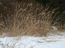 Japanese pampas grass, Nikko, Japan Royalty Free Stock Photography