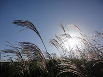 Japanese pampas grass with sun behind Royalty Free Stock Image