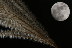 Japanese pampas and moon background stock photo