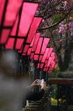 Japanese paper lantern. In the row of cherry blossom trees Royalty Free Stock Photos