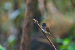 Japanese Paradise Flycatcher-Terpsiphone atrocaudata illex Stock Photos