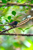 Japanese Paradise Flycatcher-Terpsiphone atrocaudata illex Stock Images
