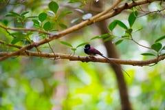 Japanese Paradise Flycatcher-Terpsiphone atrocaudata illex Royalty Free Stock Photo