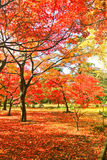 Japanese park in autumn in Tokyo, Japan. Royalty Free Stock Image