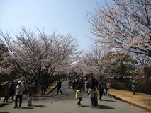 Japanese people enjoying cherry blossom Royalty Free Stock Image