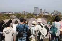 Japanese people looking at cherry blossom in Japan. Royalty Free Stock Image