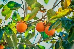 Japanese persimmon tree, kaki Royalty Free Stock Photos