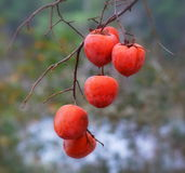 Japanese Persimmons Royalty Free Stock Photo