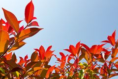 Japanese photinia. This is a picture of red leaves was against the background of blue sky Stock Image