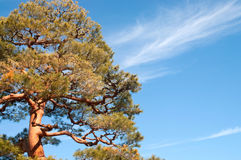 Japanese Pine Royalty Free Stock Photo