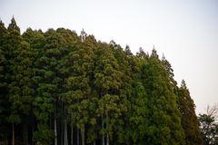 Japanese pine forest against white sky. Wide angle view of a forest of cedar trees against a white evening sky. Nobeoka, Kyushu, Japan. Travel and nature concept Royalty Free Stock Images