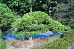 Japanese pine Royalty Free Stock Photos