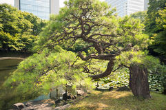 Japanese pine Stock Photography