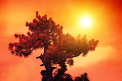 Japanese pine at sunset Royalty Free Stock Images