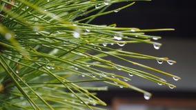 Japanese pine Stock Image
