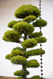 JAPANESE PINE TREE WITH BELLS. Japanese pine tree against the temple's  wall Stock Photography