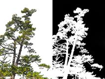 Japanese pine tree on corner isolated with alpha channel stock photography