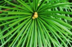 Japanese Pine Tree Royalty Free Stock Photo