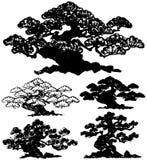 Japanese pine tree. Stock Photo