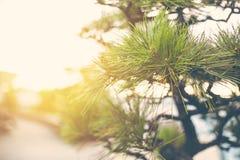 Japanese pine tree shallow depth of field Royalty Free Stock Photo
