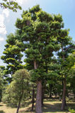 Japanese Pine Tree Royalty Free Stock Photography