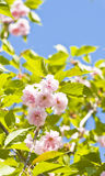 Japanese pink bird cherry tree Royalty Free Stock Photos