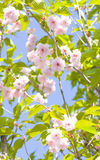 Japanese pink bird cherry tree Stock Photos