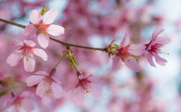 Japanese Pink Cherry Blossom flowers close-up. Pink and red Cherry Blossom flowers (Sakura) close-up during Spring Stock Photography