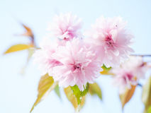 Japanese pink cherry blossoms Stock Photo