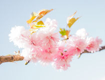 Japanese pink cherry blossoms Stock Image