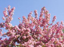 Japanese pink cherry tree Stock Photo