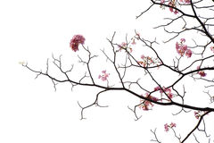 Japanese pink flower on white background Royalty Free Stock Image