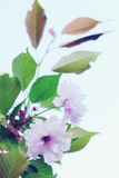 Japanese pink  sakura Stock Photography