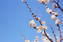 Japanese plum blossom Stock Images