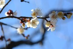 The Japanese plum blossom. The arrival the Japanese plum blossom season stock photos