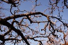 The Japanese plum blossom. The arrival the Japanese plum blossom season royalty free stock photo