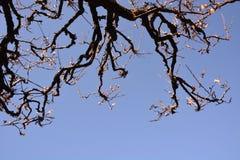 The Japanese plum blossom. The arrival the Japanese plum blossom season stock photo
