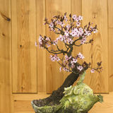 Japanese plum blossom bonsai (Prunus cerasifera) Stock Photography