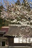 Japanese Plum Blossoms stock image