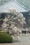 Japanese plum in blossoom under snow Royalty Free Stock Images
