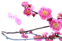 Japanese plum flower on white water  2 Royalty Free Stock Photo