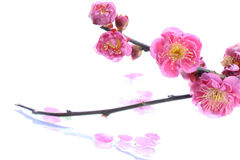 Japanese plum flower on white water Royalty Free Stock Images