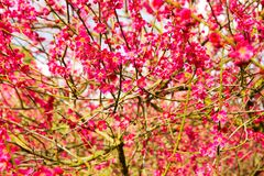 Japanese plum flowers. Japanese plum branches are covered with flowers Stock Image