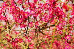 Japanese plum flowers. Japanese plum branches are covered with flowers Royalty Free Stock Image
