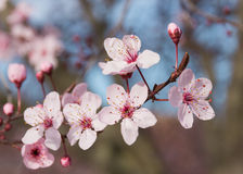 Japanese plum flowers Royalty Free Stock Photo