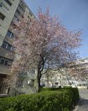Japanese plum tree in the city Royalty Free Stock Photography